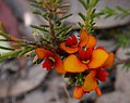 Dillwynia sericea (24997583355).jpg