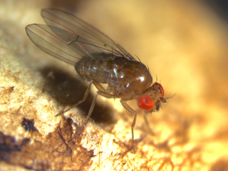 <i>Drosophila quinaria</i> species group Species group of the subgenus Drosophila
