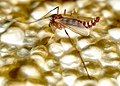 Diptera (2708561567).jpg