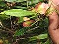 Dodonaea viscosa - Hop Bush at Chandragiri hills Shravanabelagola (7).jpg