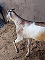 Doe or Nanny ~ Female Goat - Matara , South. Sri Lanka.jpg