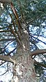 Douglas Fir Branches, Wray Castle - panoramio.jpg