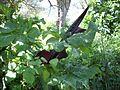 Dracunculus blossom Evia.jpg