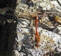 Dragonflies mating (22082838022).jpg
