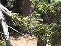 Dragonfly (Black Meadowhawk?) (9401091781).jpg