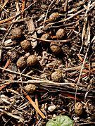 Groupe de crottes brunes en forme de petites billes