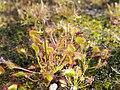 Drosera rotundifolia Rosiczka okrągłolistna 2018-06-10 02.jpg