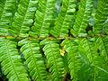 Dryopteris affinis detail1.jpg