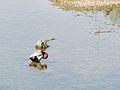Duck, preening (14380500975).jpg