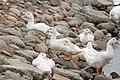 Duck farming at Huwei 20080520 20.jpg