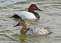 Ducks at Bear River (6366885599).jpg