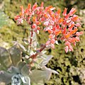 Dudleya cymosa-IMG 6497.JPG