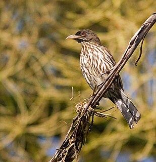 Palmchat species of bird