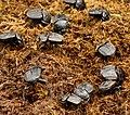 Dung Beetles in iSimangaliso Wetland Park.jpg