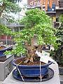 Duranta bonsai 12 years.jpg