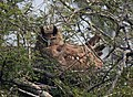 Dusky Eagle Owl Bubo coromandus by Dr. Raju Kasambe DSCN2055 (1).jpg