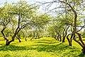 Dyakov Apple orchard Дьяковский яблоневый сад.jpg