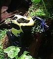 Dyeing dart frog (Dendrobates tinctorius).jpg