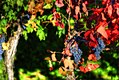 Early October wine grapes with leaf color change.jpg
