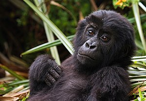 Eastern lowland gorilla - Infant in Kahuzi-Biéga National Park