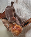 Eastern Red Bat with three babies..jpg