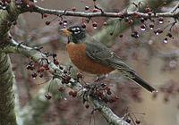 American Robin, 2016, New England