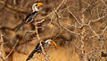 Eastern Yellow Billed Hornbills.jpg