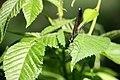 Ebony Jewelwing Damselfly leaves (4766510270).jpg
