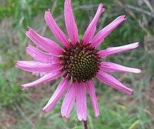 Echinacea tennesseensis Couchville.jpg