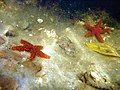 Echinaster (Othilia) echinophorus over muddy bottom.jpg