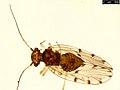 Ectopsocus petersi (24446948248).jpg