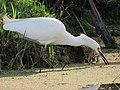 Egretta thula Garza patiamarilla Snowy Egret (6447915595).jpg