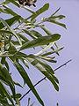 Elaeagnus angustifolia 20050608 861.jpg