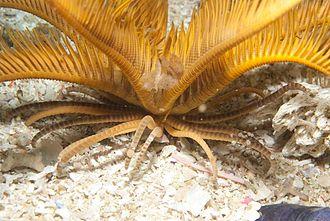 Elegant feather star - The cirri of the elegant feather star