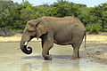 Elephant (Loxodonta Africana) 01.jpg