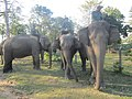 Elephant Chitwan National Park IMG 3405.jpg