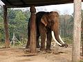 Elephant breeding center Chitwan.JPG