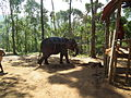 Elephant getting ready for safari in Kumily, thekady 6018.JPG