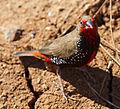 Emblema pictum -Karratha, Pilbara, Western Australia, Australia-8 (4).jpg