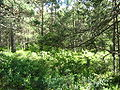 Empetro-Pinetum myrica gale.jpg