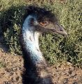 Emu1solvang.jpg