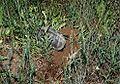 Emys orbicularis Tajba nest.jpg