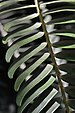 Encephalartos woodii Frond.JPG