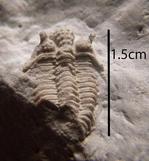 <i>Encrinurus</i> genus of trilobites