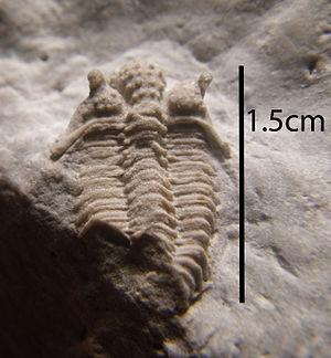 Encrinuridae - Fossil of Encrinurus egani from the Racine Dolomite