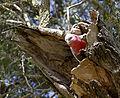 Eolophus roseicapilla -Sydney, Australia -nest-8a.jpg