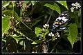 Erasmia pulchella hobsoni (15710342035).jpg