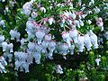 Erica glomiflora flower.JPG
