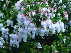 Erica glomiflora