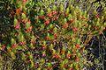 Erica plukenetii Western Cape Fynbos, South Africa (3218128350).jpg